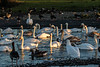 Slimbridge 2nd Jan 17-7041.jpg