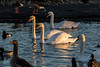 Slimbridge 2nd Jan 17-7046.jpg