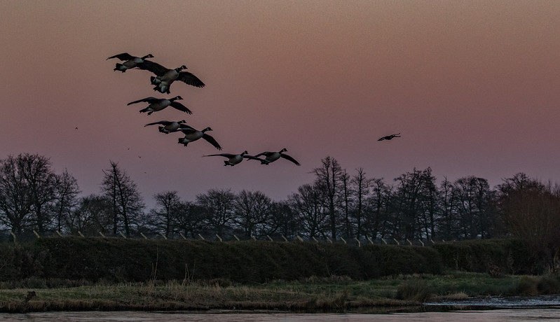 Slimbridge 2nd Jan 17-7190.jpg