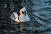 Slimbridge 2nd Jan 17-7022.jpg