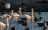 Slimbridge 2nd Jan 17-7060.jpg