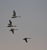 Slimbridge 2nd Jan 17-7249.jpg