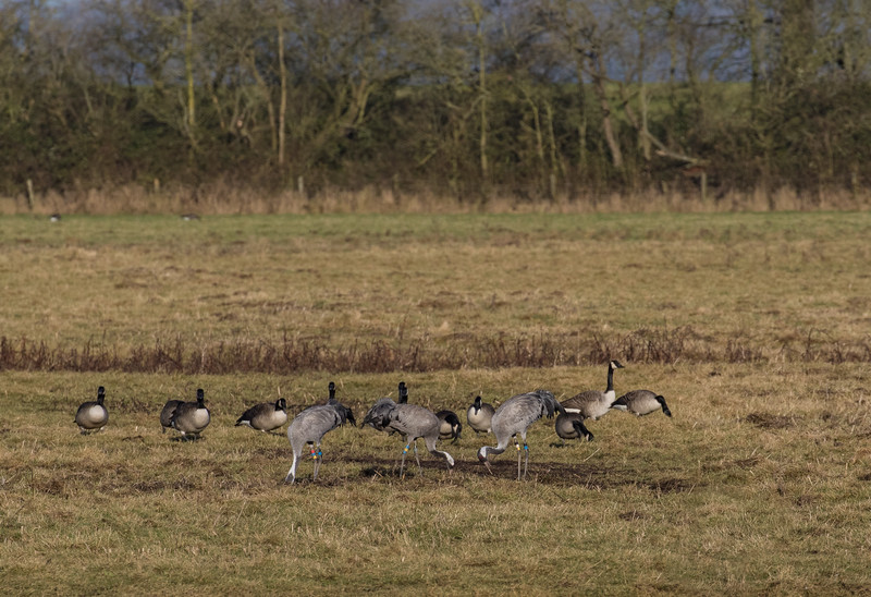 Slimbridge 2nd Jan 17-6842.jpg