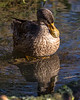 Slimbridge 2nd Jan 17-6920.jpg