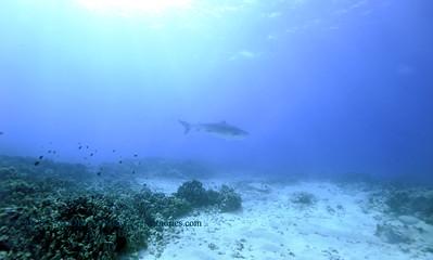 tiger shark laverne turtleheaven3 010418thurs