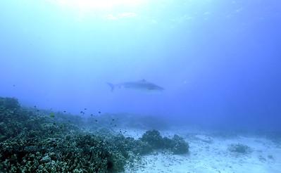 tiger shark laverne turtleheaven6 010418thurs