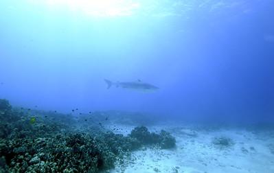 tiger shark laverne turtleheaven5 010418thurs
