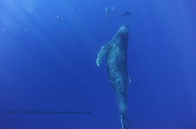 humpbackwhale dolphins umikatana7a 020118thurs