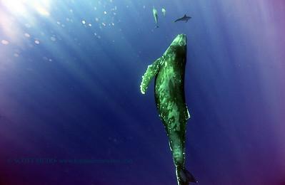 humpbackwhale dolphins umikatana7 020118thurs