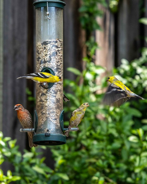 Backyard Birds-13