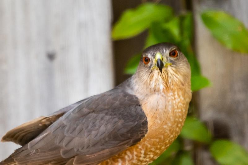 Cooper's Hawk-4