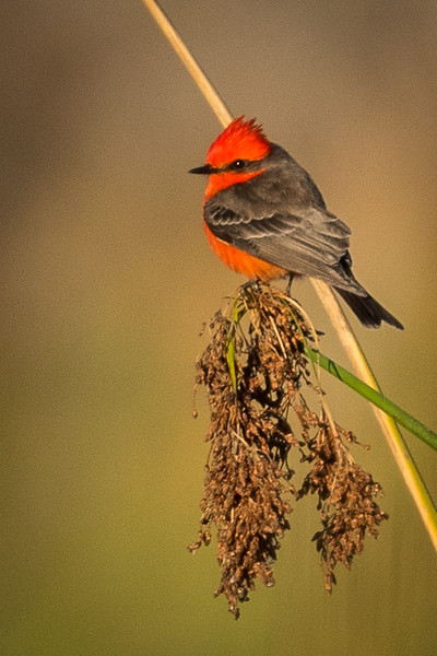 Vermillion Flycatcher on reed