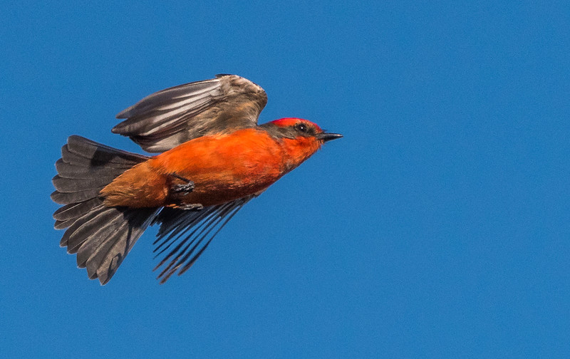 Vermillion Flycatcher Flying