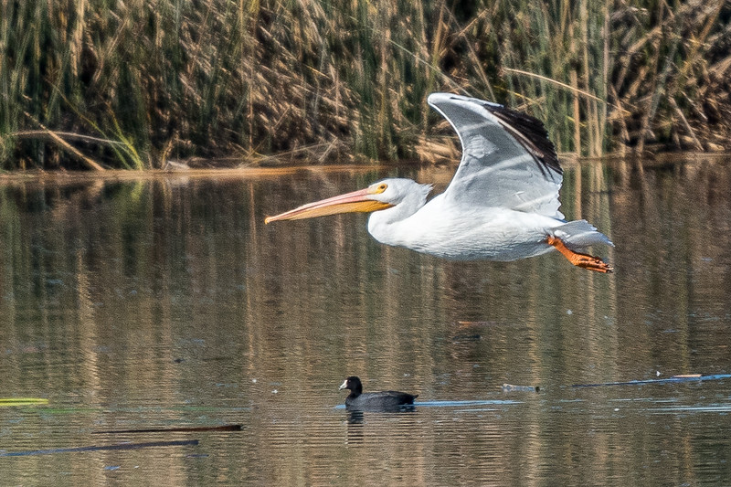 white pelican over coot