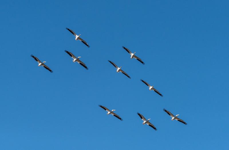 white pelican gaggle