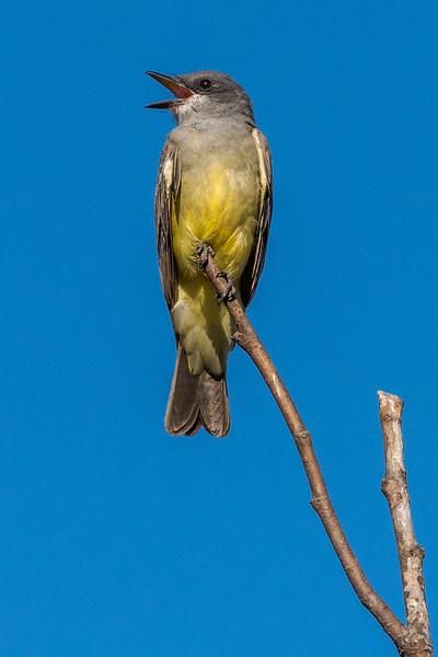 King bird calling