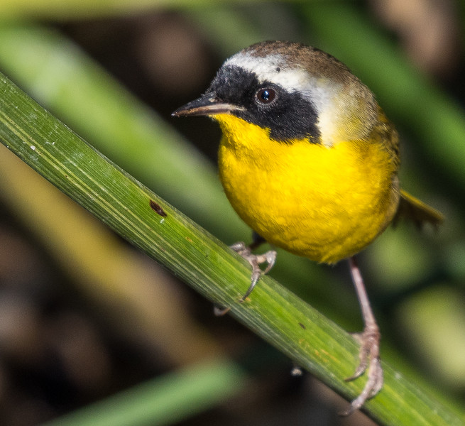 Common Yellowthroat warbler-