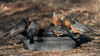 DSC08448 American Robins at the Watercooler_4998x2811