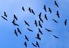 DSC00226 Migrating Sandhill Cranes_1578x1082