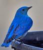 DSC00578 Bluebird???_2556x2982