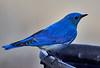 DSC00447 Mountain Bluebird_4074x2788