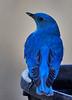 DSC00501 Mountain Bluebird_2208x3059