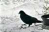 DSC00696 Raven_5702x3801
