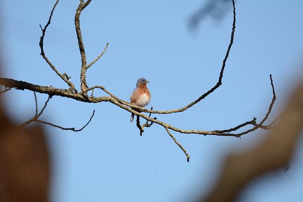 2018-02-26&27 Flickers Bluebirds