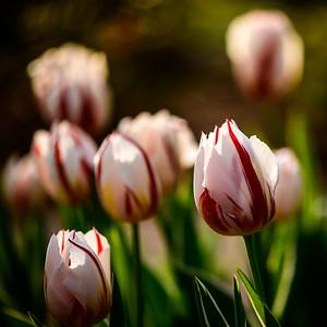 2018-03-26 Tulips