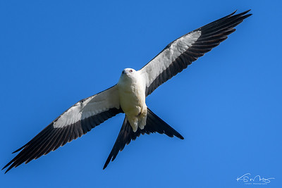 Swallow Tailed Kite, Topeka, KS