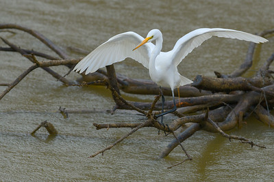 Great Egret, Lake Perry, Jefferson County, KS