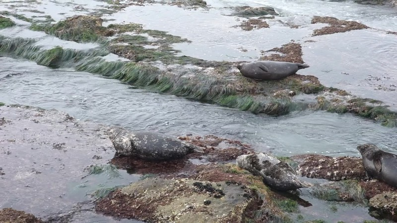 Seals in La Jolla