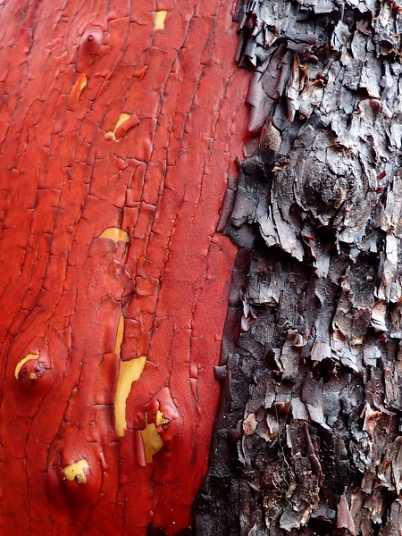 Pacific Madrone Arbutus menziesii Southern Oregon