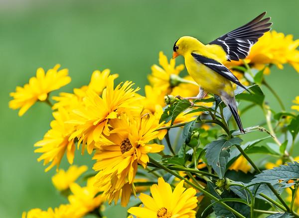 6. Goldfinch Landing - Dave Warren, PSA Score 8