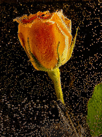 3. Bubbling Rose -  Gary Emord - PSA Score 9
