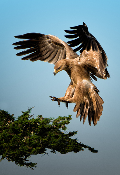 Landing Hawk - Harvey Augenbraun - PSA Score 11