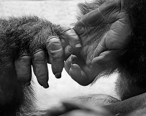6 Gorilla Hands     PSA 8