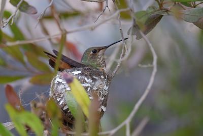 Backyard Hummingbird Nest, Mar/Apr 2018