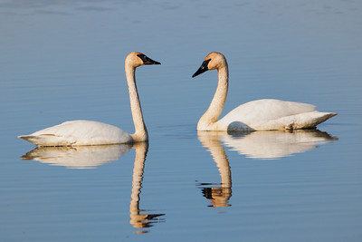 DA054,DP,Early Morning Trumpter Swans