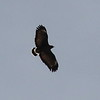 Common Black Hawk - Ron Morriss Park, Tubac