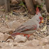 Pyrrhuloxia -  Ash Canyon B&B