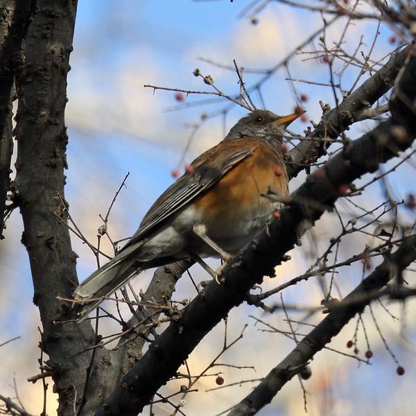 Rufous-backed Robin - Santa Gertrudis Lane
