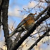 Rufous-backed Robin - Santa Gertrudis Lane