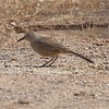 Bendire's Thrasher - Salome and Baseline roads, Phoenix