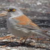 Yellow-eyed Junco - Mt. Lemmon
