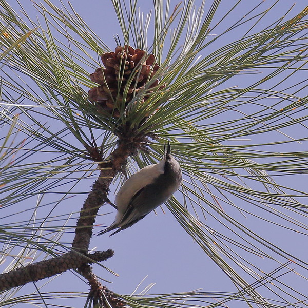 Pygmy Nuthatch - - Mt. Lemmon