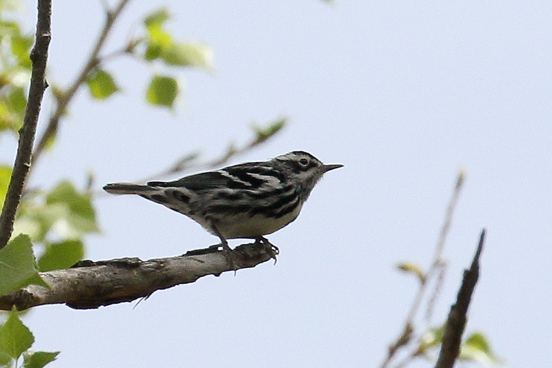 Black and White Warbler - Santa Gertrudis Lane
