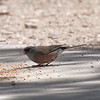 Pink-sided Junco - Mt. Lemmon