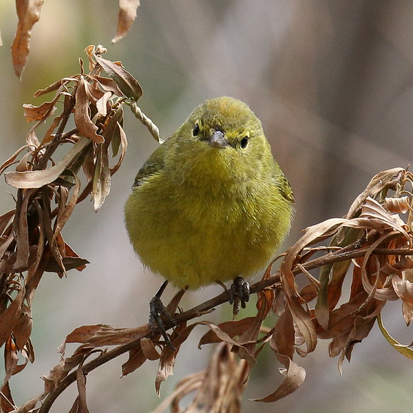 Orange-crowned Warbler - Santa Gertrudis Lane