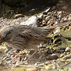 Lincoln's Sparrow - Paton Center, Patagonia